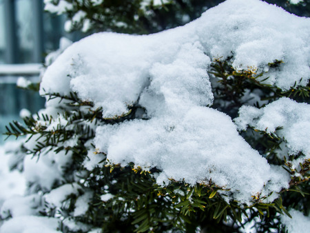 Pine leaves covered with the snow background
