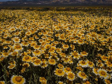 カリフォルニア州のバレーで春に咲く野生の花フィールド