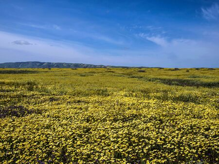 国立公園の自然のカリフォルニアに咲く花畑