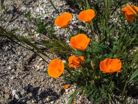 カリフォルニア野生オレンジ ポピー地面に