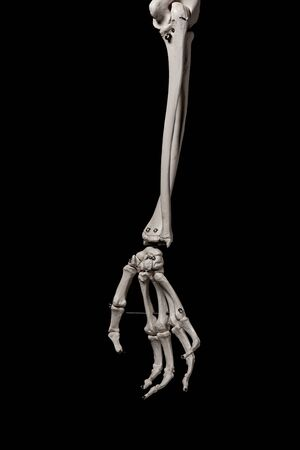 human forearm skeleton anatomy bone Standard-Bild