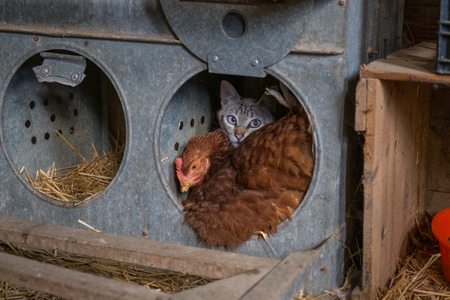Hen and cat good friends on the farm