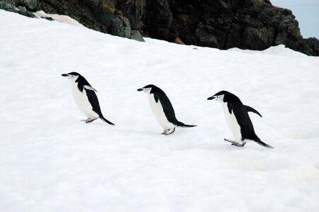 Three chinstrap penguins photo