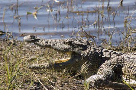 savana: Crocodile