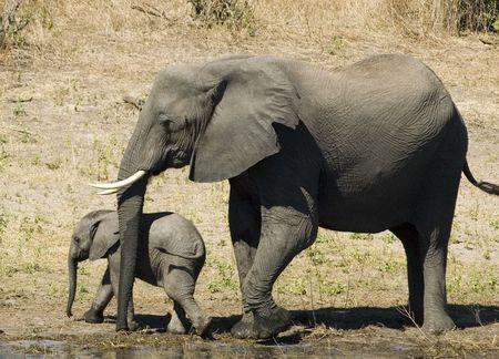 savana: Elephant Stock Photo