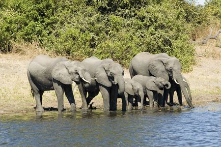 np: Elephants drinking from the river in Chobe NP, Botswana Stock Photo