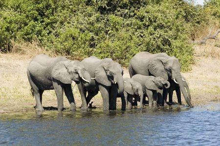 savana: Elephants drinking from the river in Chobe NP, Botswana Stock Photo
