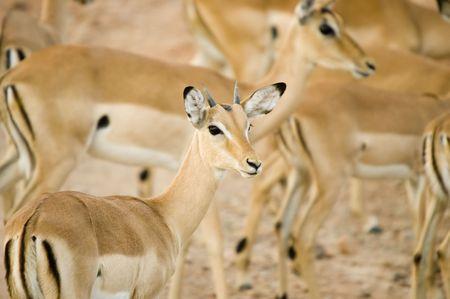 Impala photo