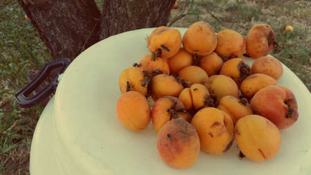Bees on the peaches. Organic farm with fruits photo.