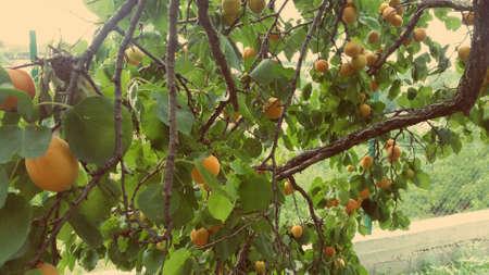 Tree with fruits, peach nature organic photo background Foto de archivo