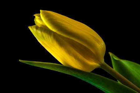 A tulip flower on a black background 스톡 콘텐츠