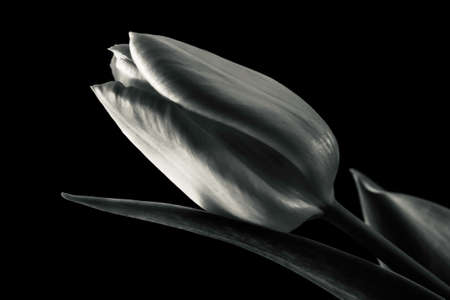 Black and white photography of tulip flowers in close up