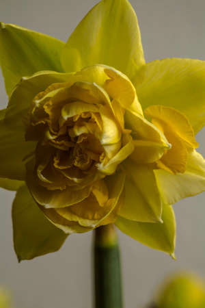 Yellow daffodil in close-up 스톡 콘텐츠