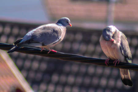 Pair of pigeons on the wire rope over the roofs
