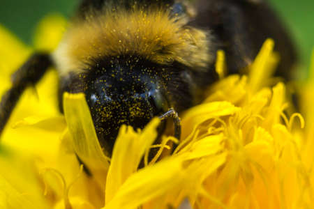 A bumblebee collects pollen on a dandelion flower