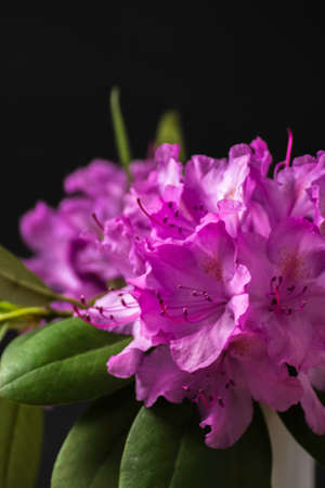 Beautiful pink rhododendron blossom