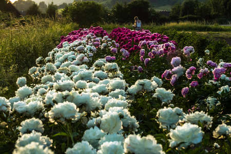 Beautiful peonies in the evening sun 스톡 콘텐츠