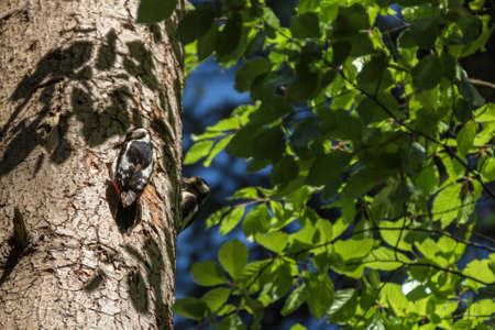 A great spotted woodpecker at its nest in the tree