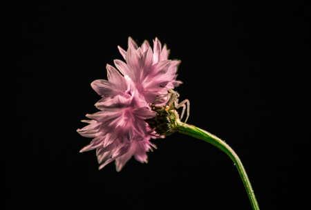 Crab spider on a cornflower 스톡 콘텐츠