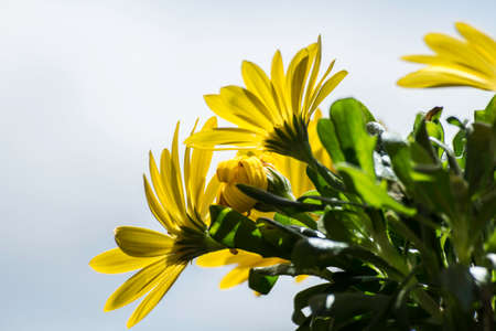 Yellow daisies with a neutral sky as a background 스톡 콘텐츠
