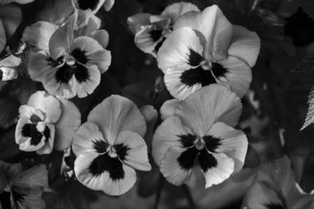 Beautiful pansies in black and white