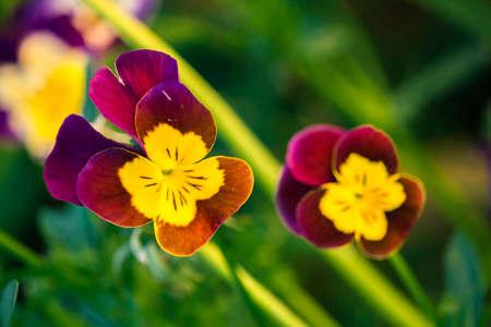 Beautiful pansies in bright colors