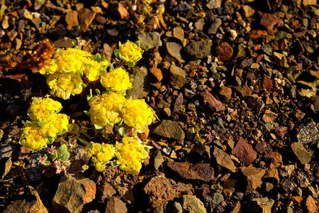 Yellow Rosita Cruckshaksia verticillata flower growing on dry ground of small stones in arid landscape of Atacama desert at Pan de Azucar