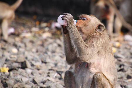 Crab eating macaque (Macaca fascicularis) drinking yoghurt from plastic bottle in monkey town Lopburi, north of Bangkok, Thailand