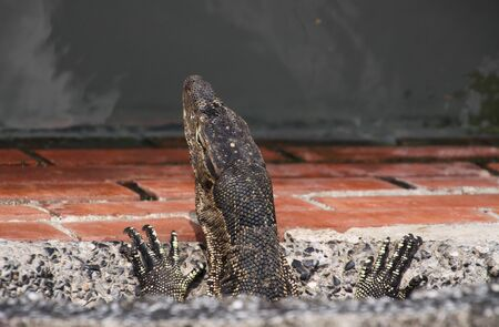 Close up of head and claws of asian water Monitor lizard (Varanus salvator) living in the sewage system looking out a sewerage tube on Bangkok river, Thailand