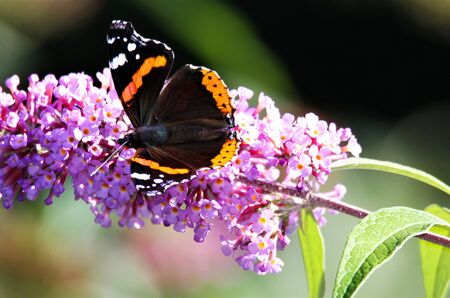 Close up of isolated butterfly Admiral ( Vanessa Atalanta) on pink lilac flower (Syringa vulgaris) with green blurred background