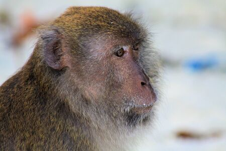 Close up of fury monkey face (crab eating long tailed Macaque, Macaca fascicularis) on isolated beach, Ko Lipe, Thailand