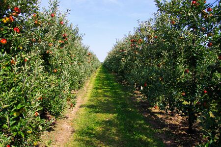View on row of apple trees on both sides with ripe red apples against blue sky on plantation - Viersen (Kempen), Germany Stock fotó