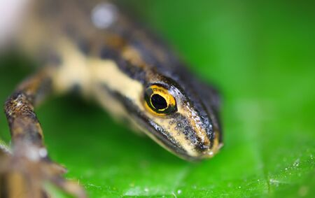 Macro closeup of small palmate newt (lissotriton helveticus) head on green leave (Focus on head)