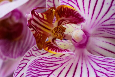Makro closeup of isolated pink and white orchid blossom (selective focus on yellow column in center)
