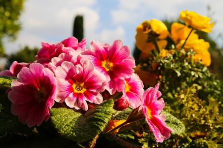 Low angle view on pink blossoms against sky and blurred german garden and yellow flower (ranunculus) background, primrose, primula acaulis