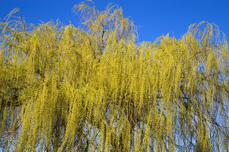 View on yellow blooming willow tree against blue sky in spring - Germany