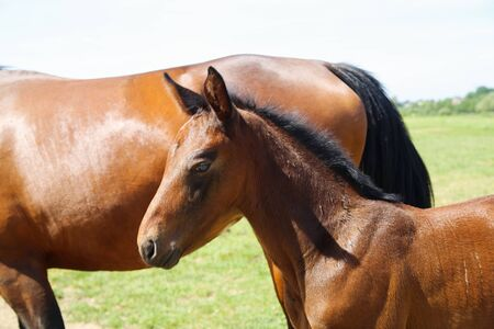 Close up portrait of brown hanoverian foal with mare mare on meadow, river background - Netherlands 版權商用圖片