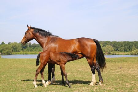 View on brown hanoverian foal sucking milk from mare on meadow, river background - Netherlands
