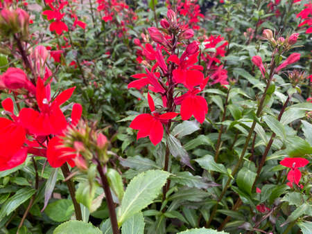 Top view on isolated deep red flowers (lobelia cardinalis) with green leaves (focus on flower in center) Stockfoto