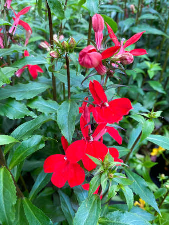 Top view on on isolated red flowers (lobelia speciosa) with green leaves Stockfoto