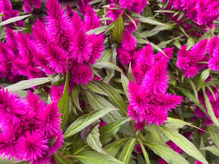 Top view on isolated deep purple wool flowers (celosia spicata) with green leaves