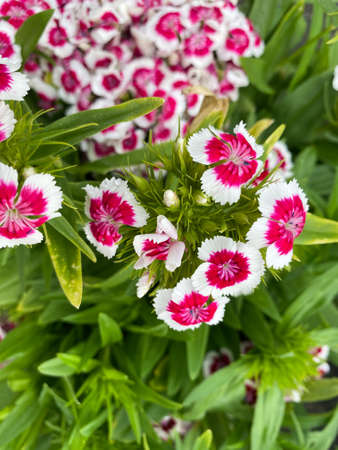 Top view closeup of isolated beautiful white purple flowers (dianthus chinensis rainbow pink) with green leaves Stockfoto