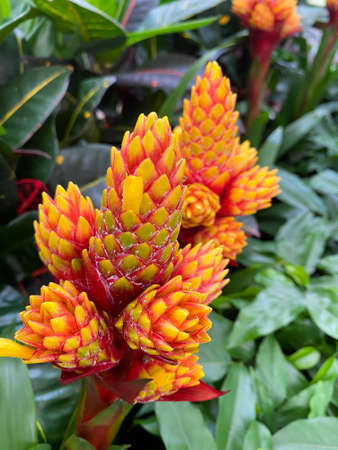 Top view on isolated red yellow flowers (guzmania conifera) with green leaves