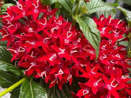 Top view closeup of isolated beautiful red flowers (pentas lanceolata grafitti) with green leaves leaves Stockfoto