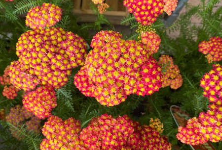 Top view closeup of isolated beautiful red yellow flowers (achillea millefolium filipendulina) with green leaves