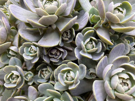 Top view on on isolated succulent plant (orostachys iwarenege)