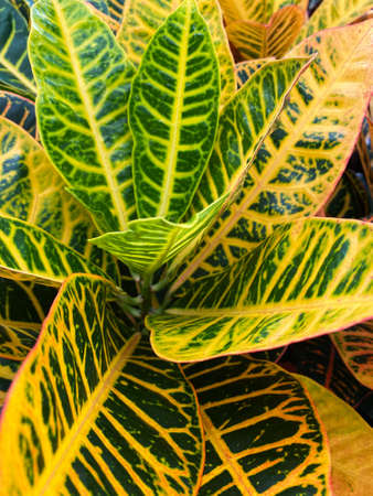 Top view closeup of isolated beautiful yellow and green plant leaves (codiaeum petra)