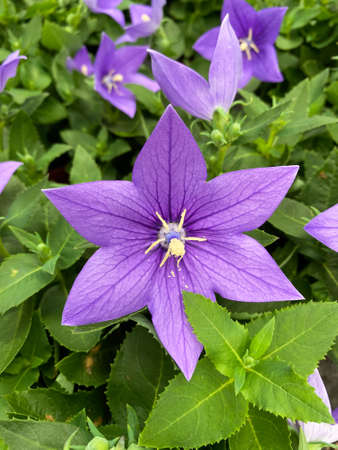Top view on on isolated purple flower head (platycodon)