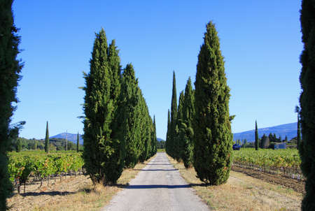 View on agricultural path lined with mediterranean cypress trees (cupressus sempervirens) in a row through vineyard with vines and mountains, blue sky in autumn - Provence, France
