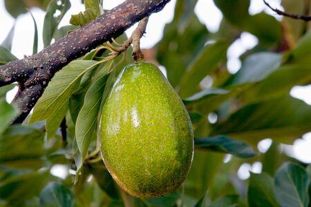 Close up on avocado on a tree photo